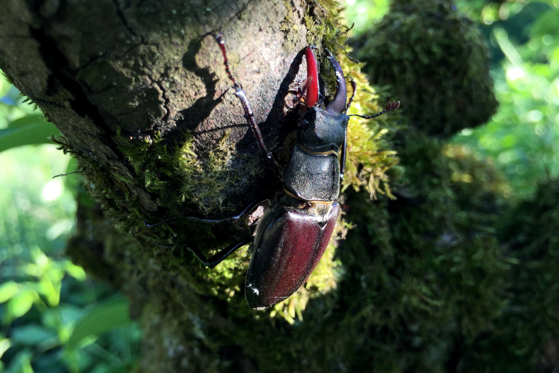 Hirschkäfer, kleineres Männchen