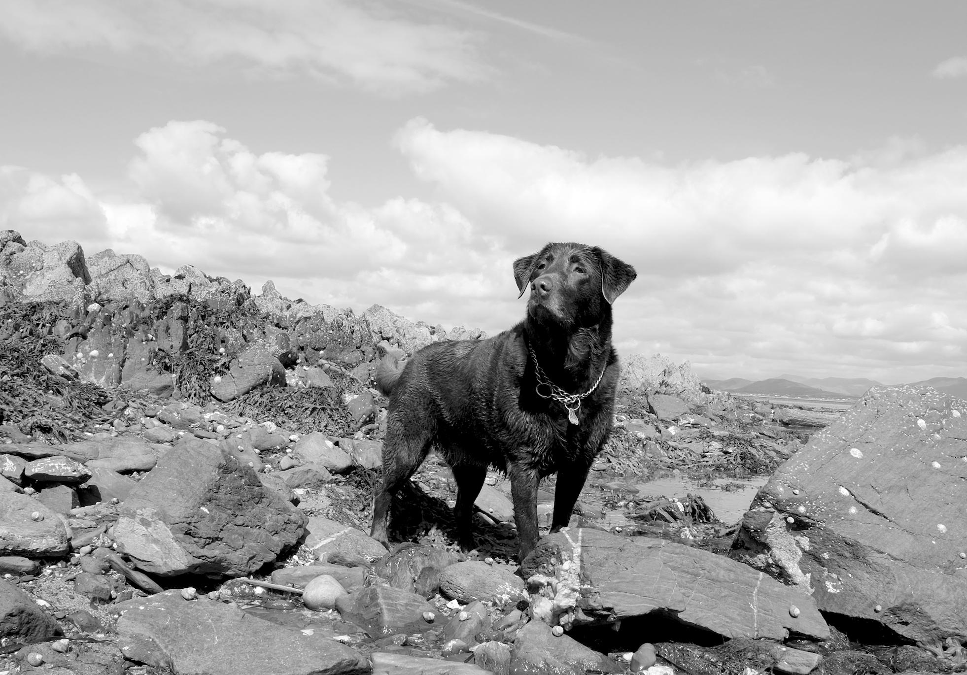 Hund auf Steinen am Meer